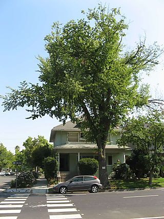 Elder Elm at 2701 P Street 2008 Credit Barbara Steinberg