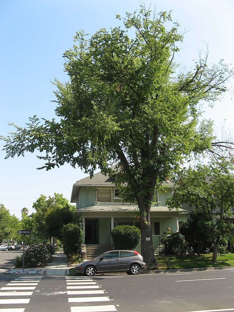 Elder Elm at 2701 P Street 2008 Credit Barbara Steinberg