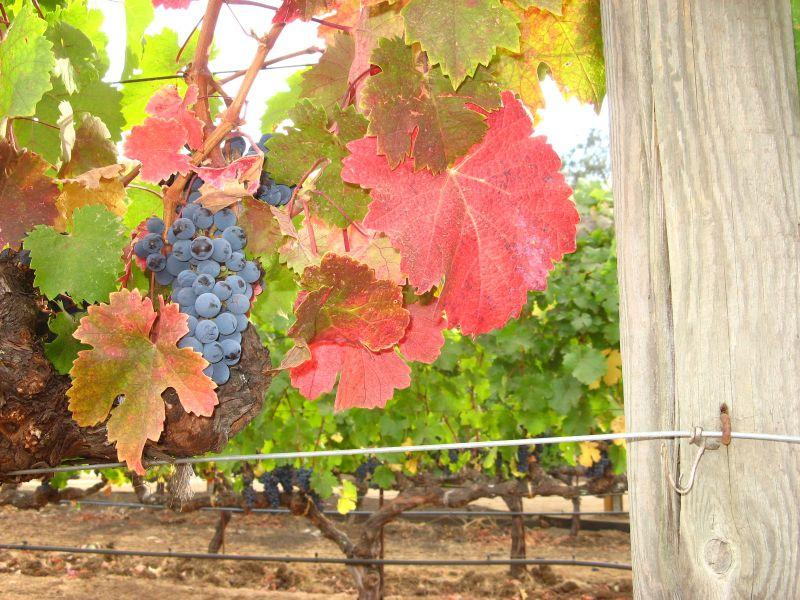 Sonoma Grapes at their most beautiful Credit Barbara steinberg