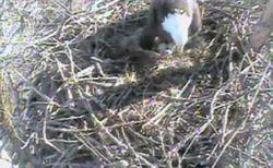 Redding Bald Eagle Feb 27.jpg Courtesy of Eagle Cam