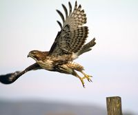 Hawk at Rush Ranch_By Tom Muehleisen(3)