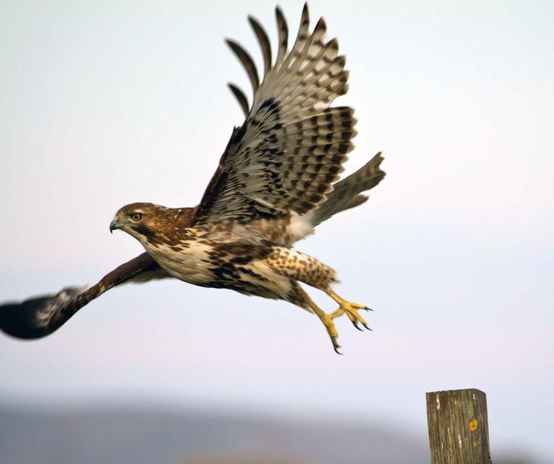 Hawk at Rush Ranch_By Tom Muehleisen(3)