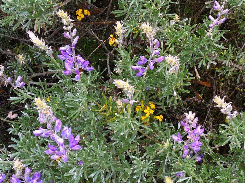 Montana de Oro State Park Lupine Credit Barbara L Steinberg