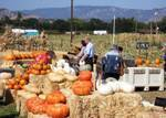 Suisun Valley Pumpkin Farm Courtesy of SVPF