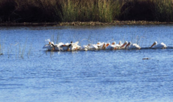 White pelicans in the California Delta fishing for blue gill Crecit Barbara L. Steinberg California Travel Insider 2014