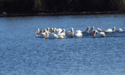 American white pelicans Rock Slough Credit Barbara L Steinberg California Travel Insider 2014