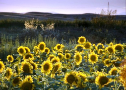 Sunflowers Woodland