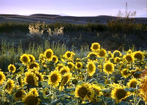 Sunflowers Woodland