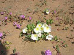 Wildflower Desert Blooms 13