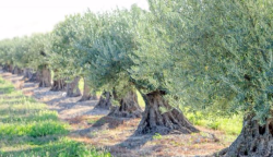 Olive trees Courtesy of Visit Yolo
