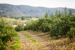 Highland Orchard View Courtesy of Mountain Mandarin Growers Association