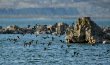 """Least and Western sandpipers in Flight."" Photo courtesy of Alice Atwood."