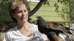 West Coast Falconry Harris Hawk Mariposa Credit Chris Westbay 20152