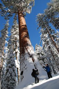 Winter magic snowshoeing to Tuolumne Grove in Yosemite National Park. Majestic sequoias are the largest living thing on earth. Credit www.YExplore.com