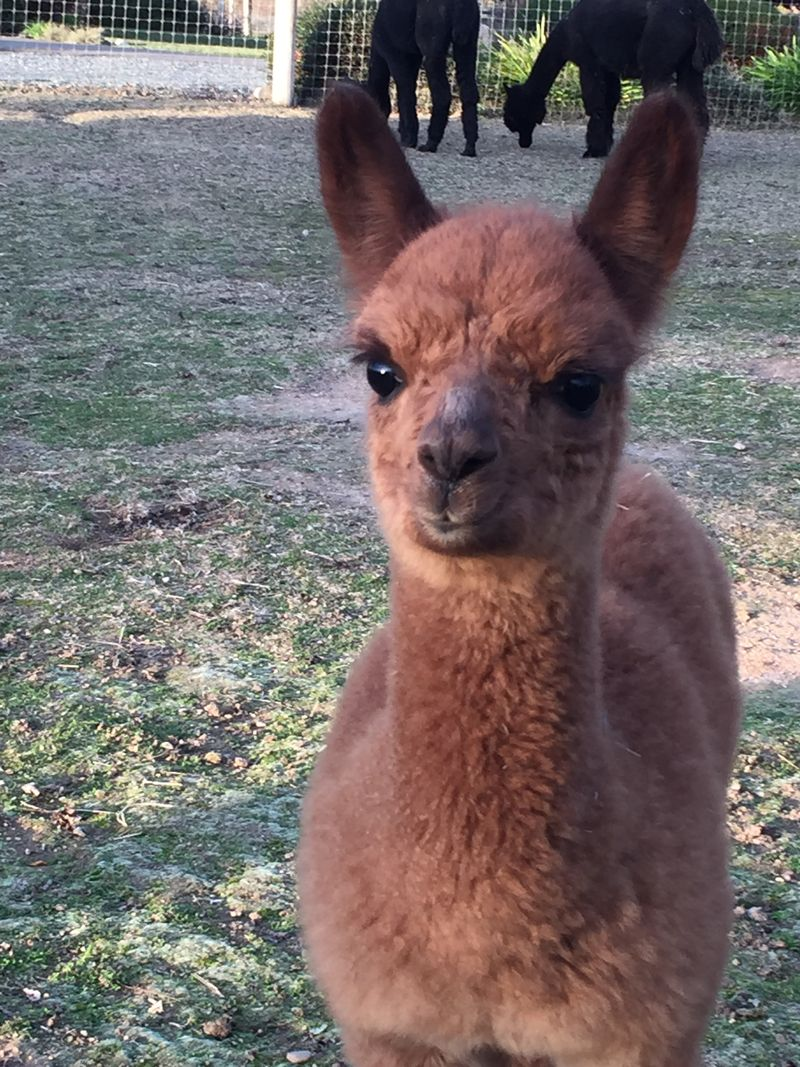 Baby Alpaca curious and smiling for the camera Credit Alpacas All Around