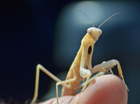 Praying Mantis at the King-Swett Ranches_By Al Mendle