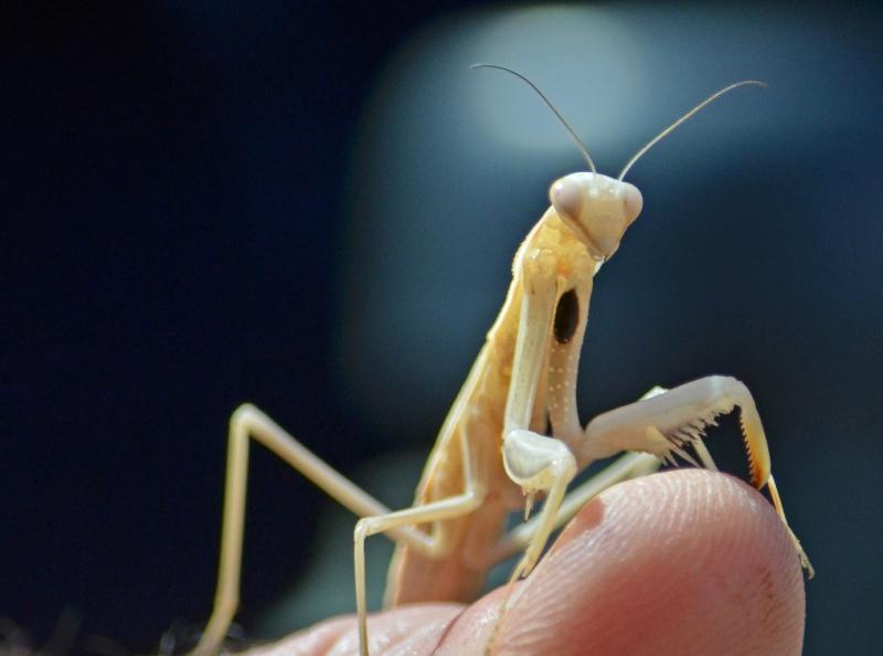 Praying Mantis at the King-Swett Ranches_By Al Mendle