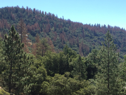 Tree mortality Southern Sierra this past June near Shaver Lake Creidt Sierra Nevada Conservancy