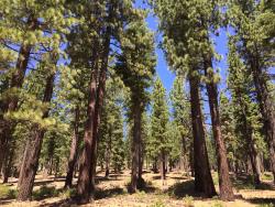 Sagehen Creek Field Station thinned forest  Creidt Sierra Nevada Conservancy