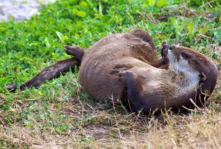 River Otter Courtesy of Stone Lakes Natioanl Wildlife Refuge