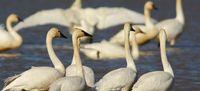 Swan Festival  Credit David Rosen