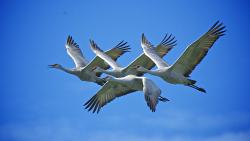Credit Hank Miller Cosumnes River Preserve SandHill Cranes