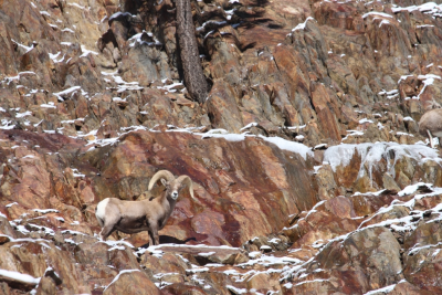 Bighorn Sheep Photo Credit Steve Yeager
