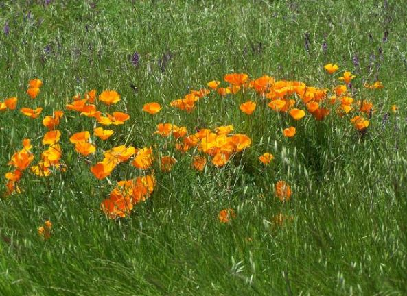 California Poppies Bufferlands Courtesy of Sacramento Reginal Water District
