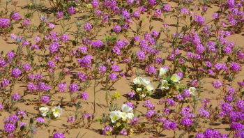 Desert Verbena and Desert Primrose Credit Are You That Woman 2008