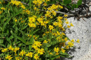 Mule Ears Wildflowers John Muir Wildness Lake Sabrina Credit Are You That Woman 2011