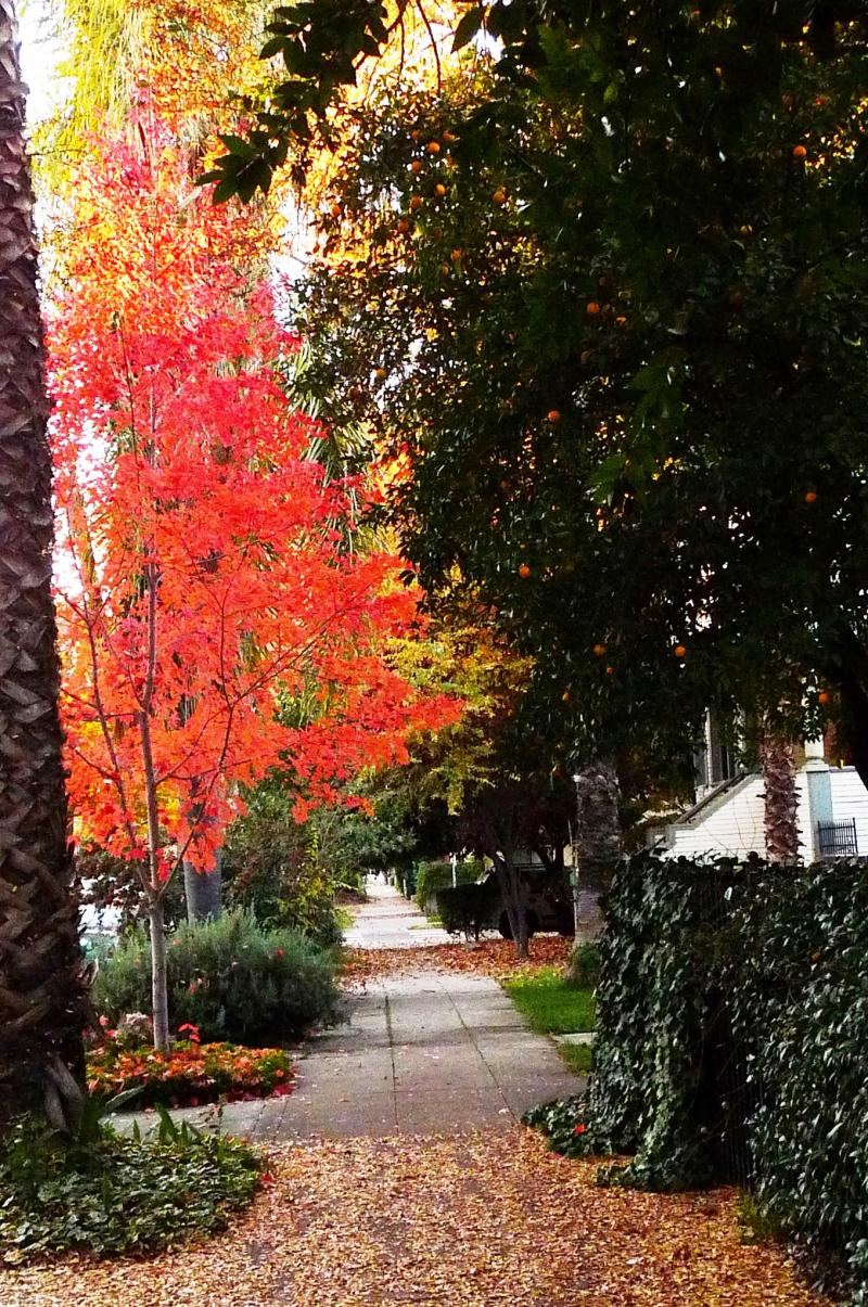 Midtown Sacramento Fall Color P Street a4